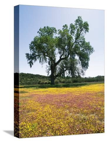 Lone Valley Oak Tree Stands in a Field of Owls Clover--Stretched Canvas Print