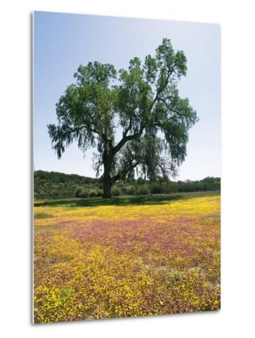Lone Valley Oak Tree Stands in a Field of Owls Clover--Metal Print