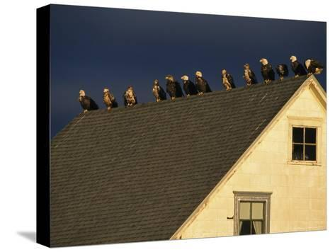 Row of American Bald Eagles Perched on a Rooftop-Tom Murphy-Stretched Canvas Print