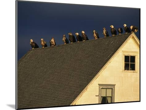 Row of American Bald Eagles Perched on a Rooftop-Tom Murphy-Mounted Photographic Print