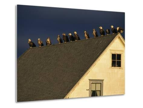Row of American Bald Eagles Perched on a Rooftop-Tom Murphy-Metal Print