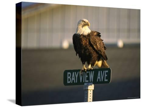 American Bald Eagle Perches on a Street Sign-Tom Murphy-Stretched Canvas Print