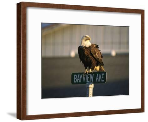 American Bald Eagle Perches on a Street Sign-Tom Murphy-Framed Art Print
