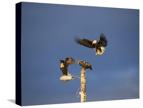 Trio of American Bald Eagles Land on a Streetlamp-Tom Murphy-Stretched Canvas Print