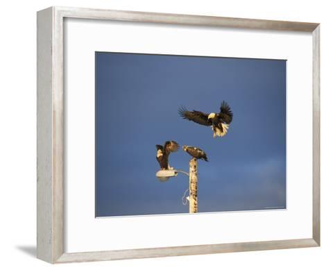 Trio of American Bald Eagles Land on a Streetlamp-Tom Murphy-Framed Art Print