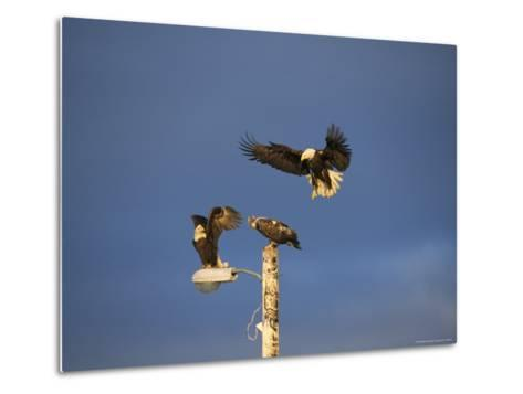 Trio of American Bald Eagles Land on a Streetlamp-Tom Murphy-Metal Print