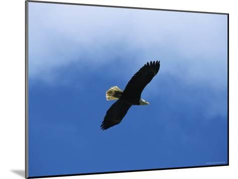 American Bald Eagle in Flight-Tom Murphy-Mounted Photographic Print