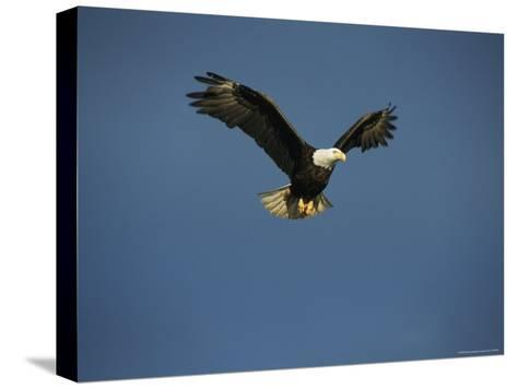 American Bald Eagle in Flight-Tom Murphy-Stretched Canvas Print