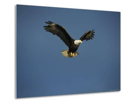 American Bald Eagle in Flight-Tom Murphy-Metal Print