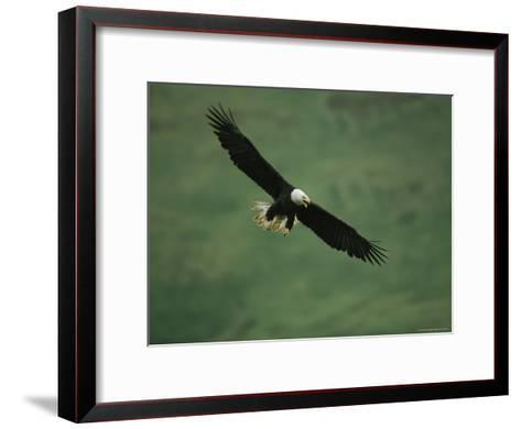 American Bald Eagle in Flight-Tom Murphy-Framed Art Print
