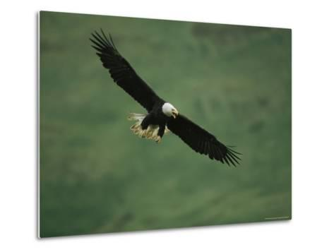 American Bald Eagle in Flight-Tom Murphy-Metal Print