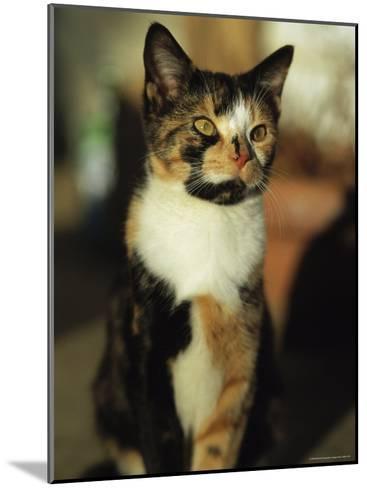 Portrait of a Calico Cat-Stephen Alvarez-Mounted Photographic Print