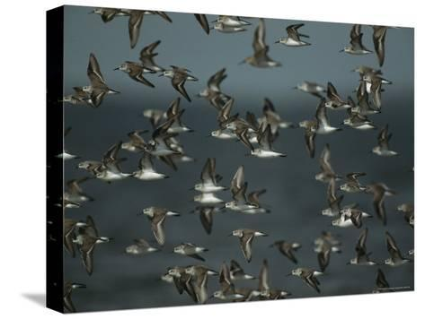 Flock of Western Sandpipers in Flight-Klaus Nigge-Stretched Canvas Print