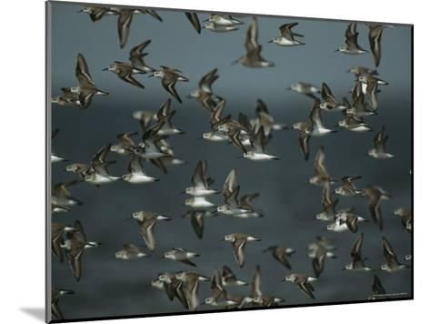 Flock of Western Sandpipers in Flight-Klaus Nigge-Mounted Photographic Print