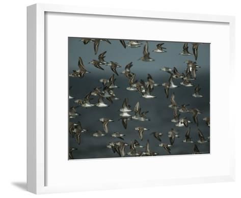 Flock of Western Sandpipers in Flight-Klaus Nigge-Framed Art Print