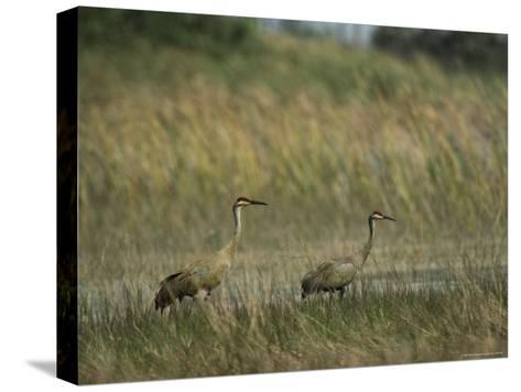 Pair of Sandhill Cranes Stand Amid the Tall Grass of a Marsh-Klaus Nigge-Stretched Canvas Print