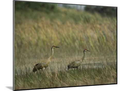 Pair of Sandhill Cranes Stand Amid the Tall Grass of a Marsh-Klaus Nigge-Mounted Photographic Print