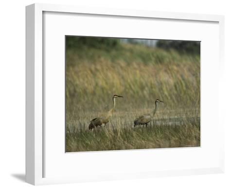 Pair of Sandhill Cranes Stand Amid the Tall Grass of a Marsh-Klaus Nigge-Framed Art Print