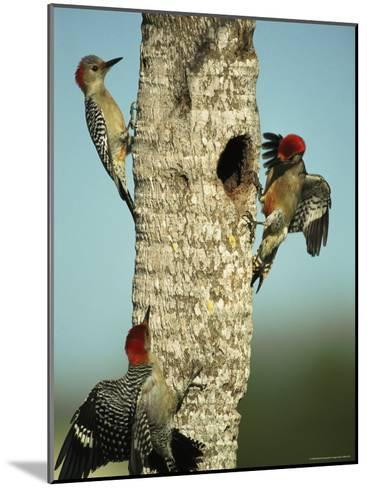 Trio of Red-Bellied Woodpeckers-Klaus Nigge-Mounted Photographic Print