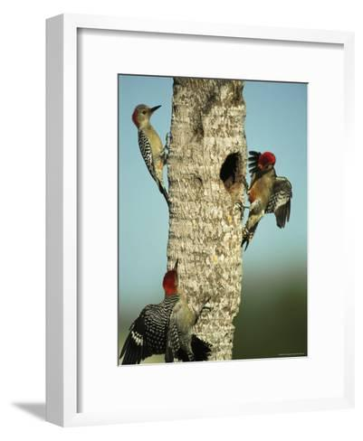 Trio of Red-Bellied Woodpeckers-Klaus Nigge-Framed Art Print
