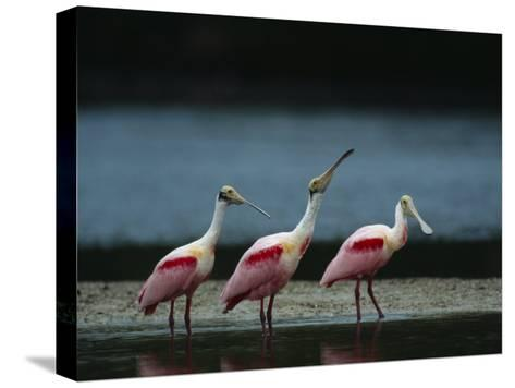 Trio of Roseate Spoonbills Are Reflected in a Coastal Lagoon-Klaus Nigge-Stretched Canvas Print