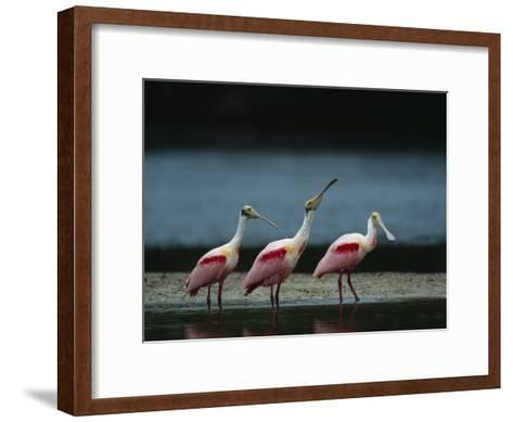 Trio of Roseate Spoonbills Are Reflected in a Coastal Lagoon-Klaus Nigge-Framed Art Print