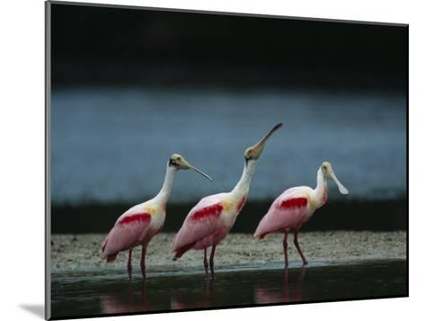 Trio of Roseate Spoonbills Are Reflected in a Coastal Lagoon-Klaus Nigge-Mounted Photographic Print