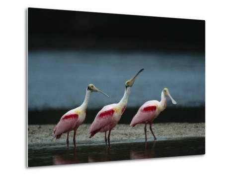Trio of Roseate Spoonbills Are Reflected in a Coastal Lagoon-Klaus Nigge-Metal Print