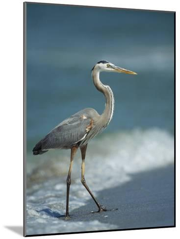 Great Blue Heron Walks in the Sand-Klaus Nigge-Mounted Photographic Print