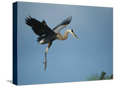 Great Blue Heron in Flight-Klaus Nigge-Stretched Canvas Print