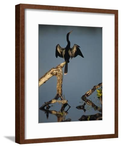 Male Anhinga Perches on a Tree Stump above a Coastal Lagoon-Klaus Nigge-Framed Art Print