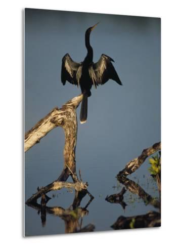 Male Anhinga Perches on a Tree Stump above a Coastal Lagoon-Klaus Nigge-Metal Print
