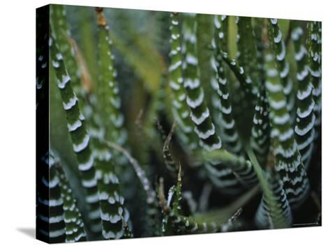 Close View of a Plant from the Haworthia Species-Raul Touzon-Stretched Canvas Print