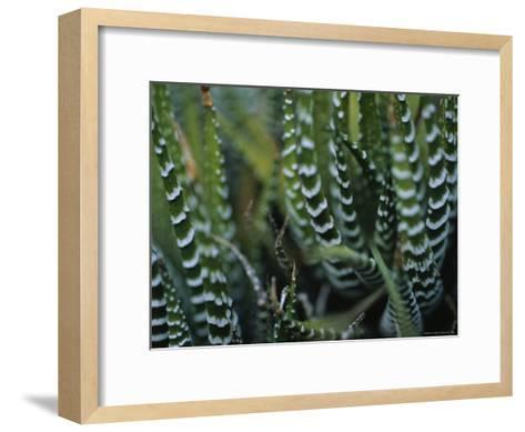 Close View of a Plant from the Haworthia Species-Raul Touzon-Framed Art Print