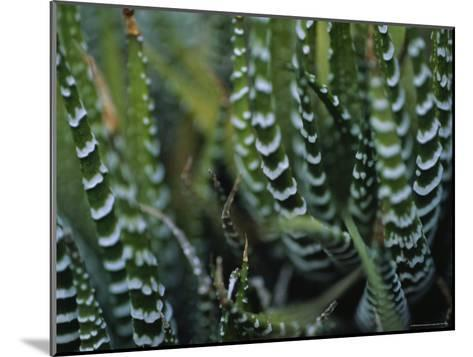 Close View of a Plant from the Haworthia Species-Raul Touzon-Mounted Photographic Print