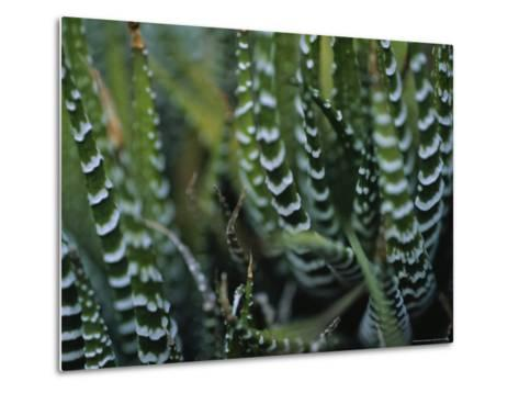 Close View of a Plant from the Haworthia Species-Raul Touzon-Metal Print
