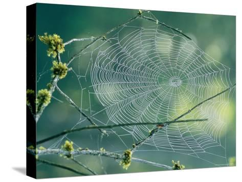 Spiderweb Spun Between Tree Branches Reflects the Sunlight-Phil Schermeister-Stretched Canvas Print