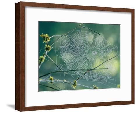 Spiderweb Spun Between Tree Branches Reflects the Sunlight-Phil Schermeister-Framed Art Print