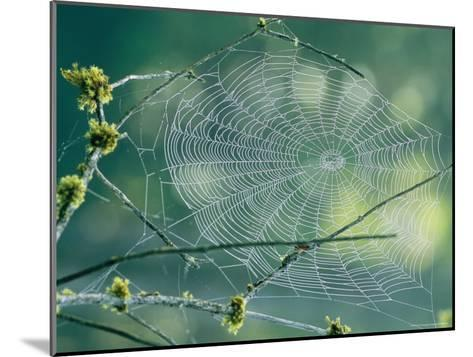 Spiderweb Spun Between Tree Branches Reflects the Sunlight-Phil Schermeister-Mounted Photographic Print