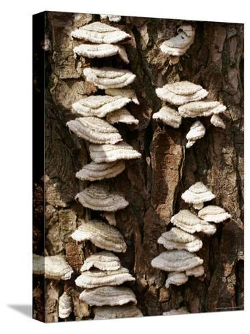 Scale Fungus Growing on a Tree Trunk-Charles Kogod-Stretched Canvas Print