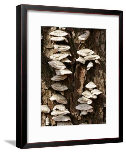 Scale Fungus Growing on a Tree Trunk-Charles Kogod-Framed Art Print