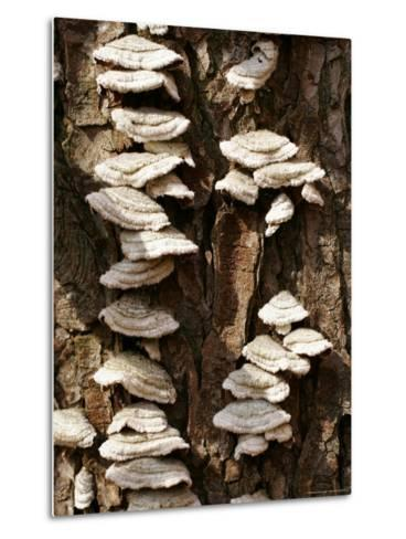 Scale Fungus Growing on a Tree Trunk-Charles Kogod-Metal Print