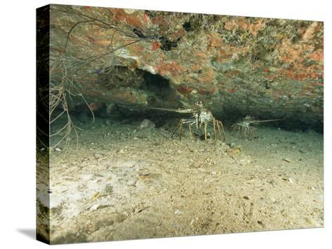 Spiny Lobsters Hide Beneath a Shipwreck-Heather Perry-Stretched Canvas Print