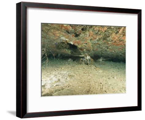Spiny Lobsters Hide Beneath a Shipwreck-Heather Perry-Framed Art Print