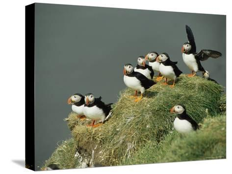 A Group of Atlantic Puffins Perch on a Grass-Covered Cliff-Sisse Brimberg-Stretched Canvas Print