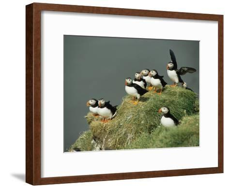 A Group of Atlantic Puffins Perch on a Grass-Covered Cliff-Sisse Brimberg-Framed Art Print