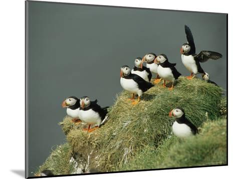 A Group of Atlantic Puffins Perch on a Grass-Covered Cliff-Sisse Brimberg-Mounted Photographic Print