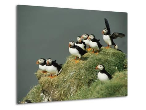 A Group of Atlantic Puffins Perch on a Grass-Covered Cliff-Sisse Brimberg-Metal Print