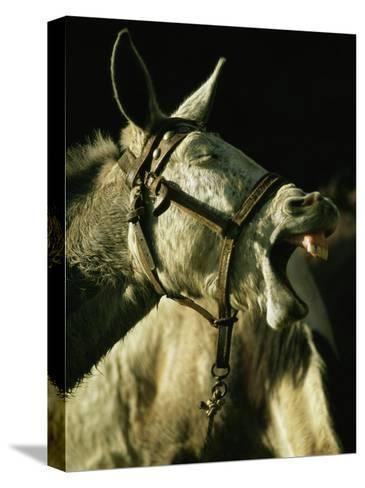 A Bridled Pack Mule Yawning-Gordon Wiltsie-Stretched Canvas Print