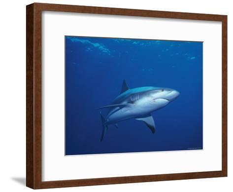 A Caribbean Reef Shark Cruising in Clear Blue Waters-Nick Caloyianis-Framed Art Print